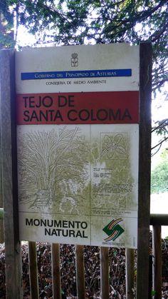 El Tejo de Santa Coloma (Allande)