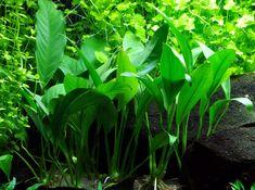 Anubias barteri v. angustifolia