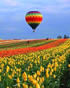 Oregon Tulip Fields
