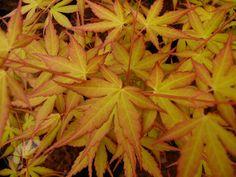 Buy Japanese maple Acer palmatum Katsura: Delivery by Crocus.co.uk