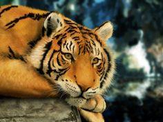 lindo tigre