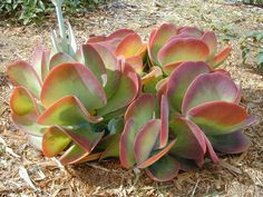 """The succulent, Kalanchoe luciae """"Flapjack"""" is one of the most dramatic looking plants I have in my garden. Jade green leaves with dark red wine margins. Mmm, just gorgeous. ."""