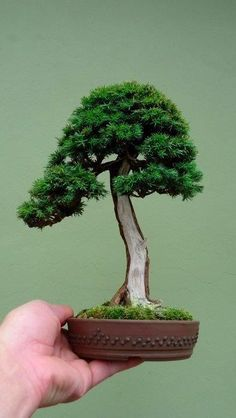 Taxus baccata - Yew bonsai