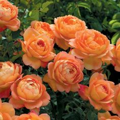 Lady of Shalott Climbing - David Austin Roses--Subtle color gradients with lovely buds and blooms.  Very eye-catching.