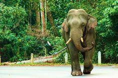 Wild Elephant at Khao Yai National Park, Thailand