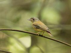 Patinho-de-coroa-branca (Platyrinchus platyrhynchos)
