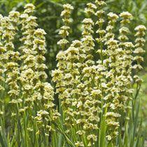 Sisyrinchium Striatum  Skill Level: Beginner Exposure: Full sun, Partial shade Hardiness: Hardy Soil type: Well-drained/light Height: 90cm Spread: 25cm Flowering period: May to July