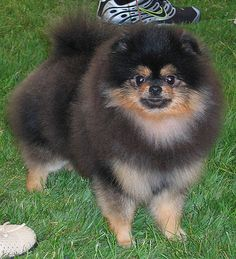 Pomeranian ~ & this looks like our Peyton :)