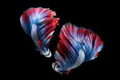 Betta fish - Betta fish, siamese fighting fish on Black background