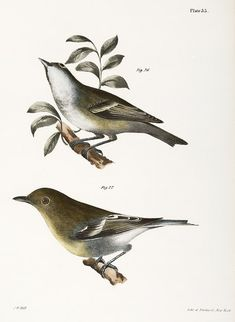 The Solitary Greenlet (Vireo solitarius) The Yellow-throated Greenlet (Vireo flavifrons) illustration from Zoology of New york - by James Ellsworth De Kay Vintage Bird Illustration, Vintage Birds, New York Public Library, Zoology, Free Illustrations, Free Images, Public Domain, Yellow, Animals