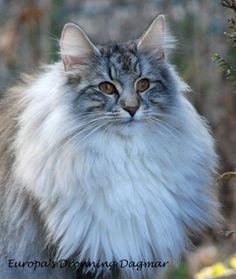 Die 67 Besten Bilder Von Norwegische Waldkatze Norwegian Forest