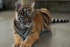 Bengal tiger cub by Noli Doody, via Flickr