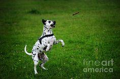 Gotta it. Kokkie. Dalmation Dog by Jenny Rainbow. #DalmationDog #Dog #Dalmation #Breed #Spring #SpringTime #Animal #BeautifulDog #Netherlands #Holland #Dalmatian #DalmatianDog #Action #Play #PlayingDog #FineArtPrints #Aport