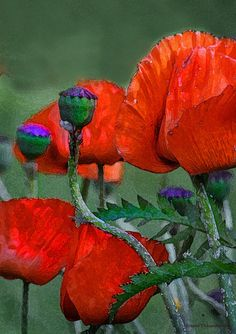 Watercolour Poppies!!!