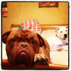 Bree my beautiful French mastiff - Dogue de Bordeaux