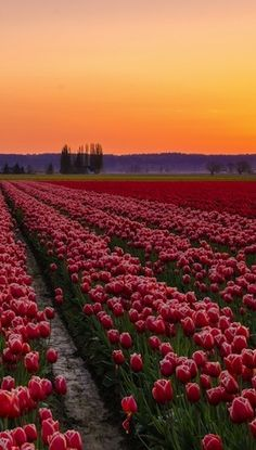 Flowers in the Skagit Valley
