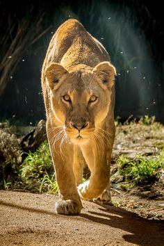 La leona al acecho...