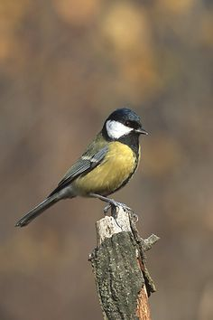 Parus major 3 (Marek Szczepanek).