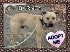 Barney is a 1-2 yr old handsome fella who gets along with his canine companions. He is learning some doggy manners and would love for his new family to continue his training once he gets home. He loves taking walks and playing in the play yard!***To...
