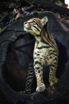 I love the headshape on this kitty. Could be an ALC - Asian leopard cat - the breed that bengal cat originates from. Or maybe an ocelot. Sorry i cant tell the difference (but i think the mussle is too strong to be an alc)
