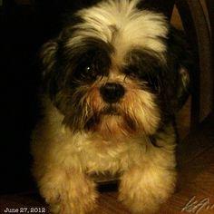Pepper #shihtzu #dog #philippines #フィリピン #犬