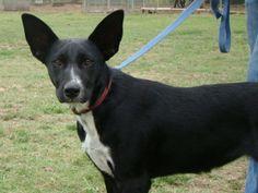 Petfinder Adoptable   Dog   Bull Terrier   Tulsa, OK   Curly