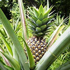Pineapple Bush | How to Grow from its Top | Gardening Tips 'n Ideas