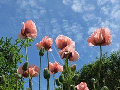 Peachy poppies