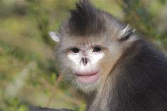 Pisze orrú majmok (Rhinopithecus avunculus)  Forrás/source: birdingbejing.com