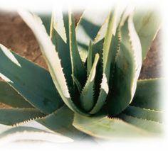Fakta om Aloe Vera - My Aloe Vera/ Jon B. Hansen
