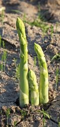 3 Easy Steps for Growing Asparagus