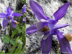 floare mov Clematis, Indigo, Plants, Flora, Indigo Dye, Plant, Planting