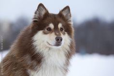 Finnish Lapphund... Would love a dog like this.