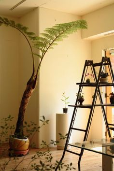 indoor plants wow, mum would loooove this tree fern Terrariums, Indoor Garden, Home And Garden, Home Goods Decor, Home Decor, Indoor Palms, Fern Plant, Plant Cuttings, Tree Fern