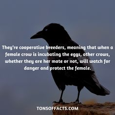 They're cooperative breeders, meaning that when a female crow is incubating the eggs, other crows, whether they are her mate or not, will watch for danger and protect the female. Animals And Pets, Baby Animals, Funny Animals, Cute Animals, Crow Facts, Raven Facts, Beautiful Birds, Animals Beautiful, Weird Facts