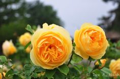 Garden Bloggers Bloom Day in May: roses are red . . . and yellow too   Red Dirt Ramblings®
