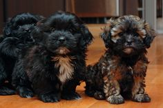 Shih Poo puppies black and brown Teacup Puppies, Cute Puppies, Cute Dogs, Dogs And Puppies, Doggies, Shih Poo, Shih Tzu Puppy, Shipoo Puppies, Shorkie Puppies