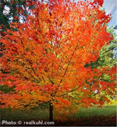 Love this one Zone Sugar Maple Acer saccharum Landscape Standout Brilliant Fall Colors turning yellow, orange, and red Deer Resistant: Seldom Severely Damaged Grows to high with 40 to spread Zones 3 to 8 Trees And Shrubs, Trees To Plant, Windbreak Trees, Arbor Day Foundation, Arbour Day, Shade Trees, Maple Tree, Colorful Trees, Growing Tree