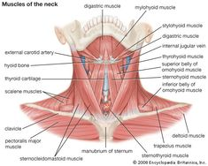 muscles in neck