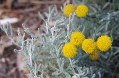 Australian Garden Design, Australian Flowers, Plant Information, Home Garden Plants, Plant Sale, Salvia, Planting Seeds, Live Plants, Potpourri