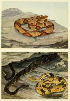Frontispiece, detail. A Copperhead (above) and Timber Rattlesnake (below), two of the three poisonous snakes found in the Northeast U.S.  Serpents of the northeastern states. 1935.