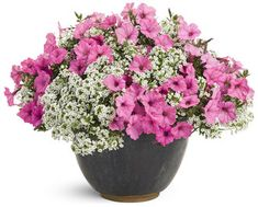 container with 2 Bubblegum Supertunia, and 2 Snow Princess Alyssum. Plant in container if growth and flowering is desired all summer. Alyssum is nice and tidy, but will fade in summer heat - maybe do a white verbena or white calabrachoa instead? Window Box Flowers, Flower Boxes, Flower Baskets, Window Boxes, Full Sun Plants, All Plants, Potted Plants, Short Plants, Proven Winners