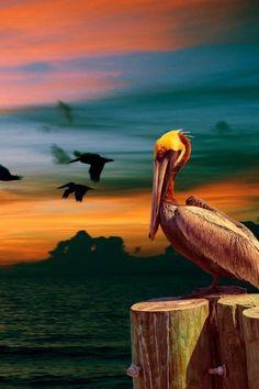 Pelican...my favorite!!