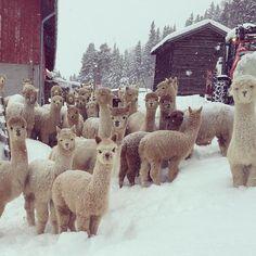 Alpaca farm in Hallingdal, Norway Alpacas, Lama Animal, Animals And Pets, Cute Animals, Wild Animals, Farm Animals, Funny Animals, Llama Alpaca, Destination Voyage