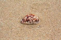 Shell on a beach, Tonga. Tonga, Shells, Beach, Conch Shells, The Beach, Seashells, Sea Shells, Beaches, Snail