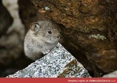 Day 123 of your daily dose of cute:This animal is called a pika and I'm obsessed with it!!