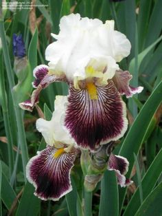 Full size picture of Tall Bearded Iris 'Quizzical' (<i>Iris</i>)