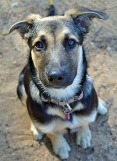 Gnudles the  German Shepherd and Labrador Retriever Mix
