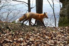Fox on Barn Bluff, Red Wing MN