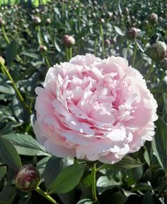 Sarah Bernhardt - Peonies - Flowers and Fillers - Flowers by category | Sierra Flower Finder